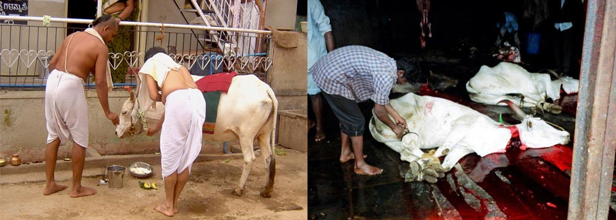 Holy cow, not so holy in India