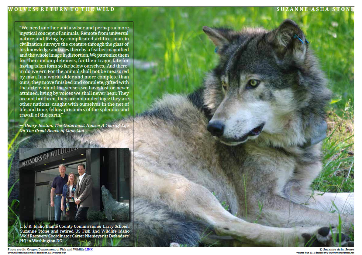 Live Encounters Suzanne Asha Stone Wolves return to the Wild Volume Four December 2015 Page 05