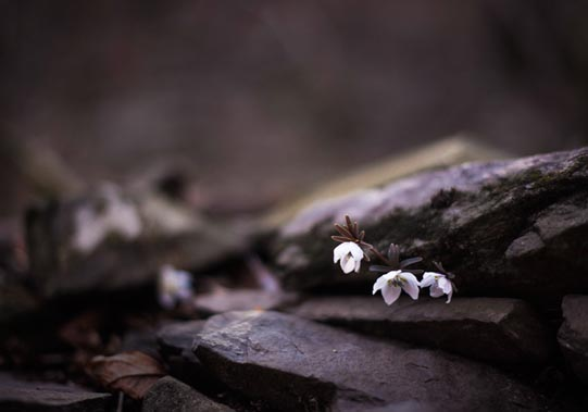 A Windflower, also known as Shady Anemone.© Mikyoung Cha