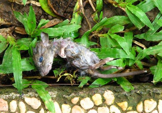 Rat in the Rain © Mark Ulyseas