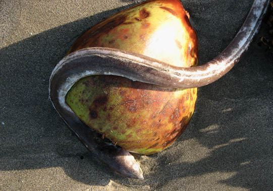 An eel that had succumbed to the rip tide lying curled over a coconut. Bali, Indonesia © Mark Ulyseas