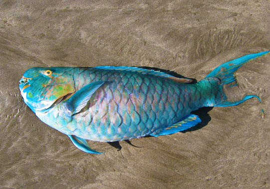 Queen Parrot fish that was caught in a fisherman's net, discarded on the beach. Bali, Indonesia © Mark Ulyseas