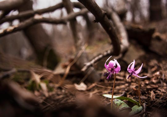 Dog's-tooth violets. © Mikyoung Cha