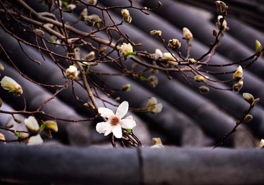 Magnolia © Mikyoung Cha