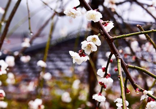 White Apricot blossoms. © Mikyoung Cha