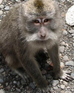 Monkey, Bedugul, Bali, Indonesia © Mark Ulyseas