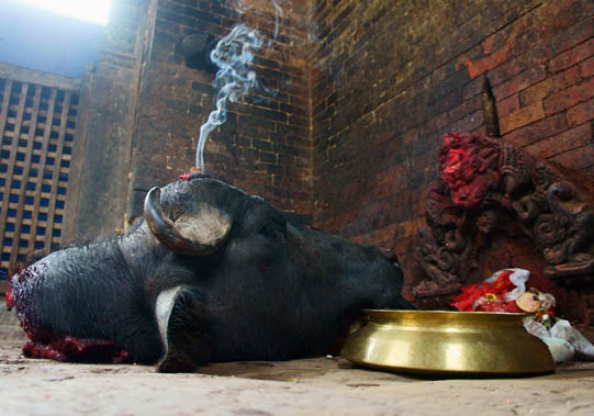 05. Head of buffalo offered to the Goddess. © Joo Peter