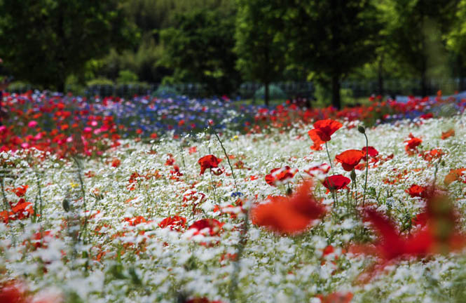 June 03 Wild poppies at Ulsan © Mikyoung Cha