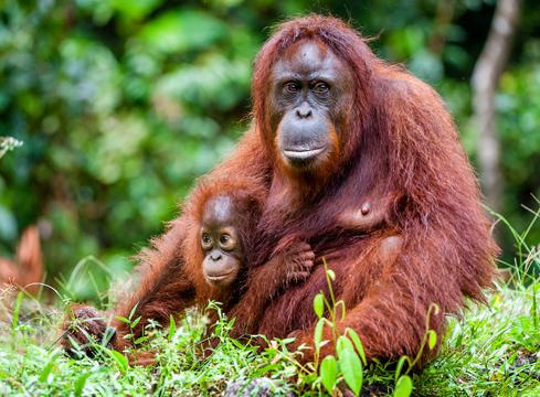 Orangutang_SergeyUryadnikov2_Shutterstock- dr margi prideaux