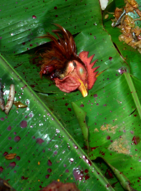 The severed head of the rooster was thrown into the well. © Mark Ulyseas