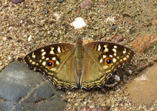 Butterfly on riverbank. Photograph © Mark Ulyseas