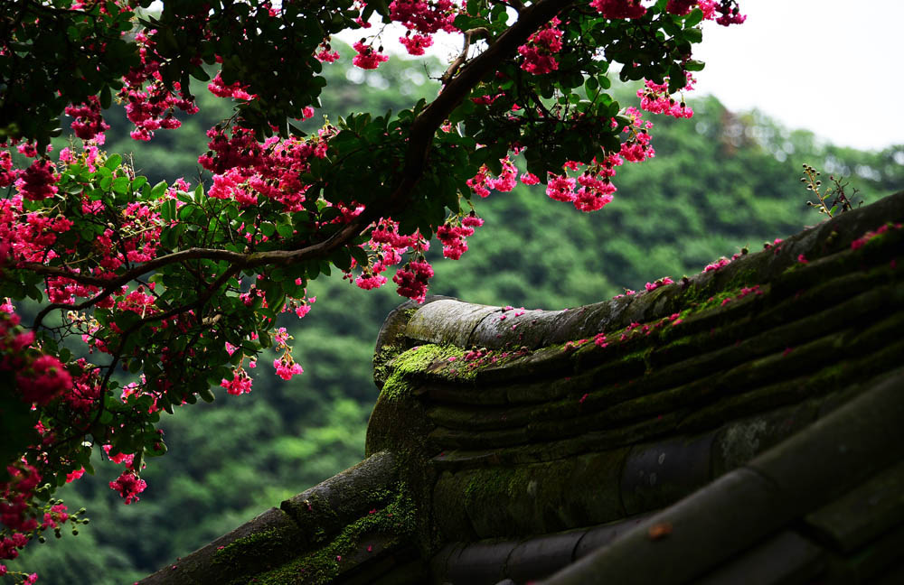 07 Crepe myrtle in full bloom, Byeongsan Seawon in Andong. South Korea. © Mikyoung Cha
