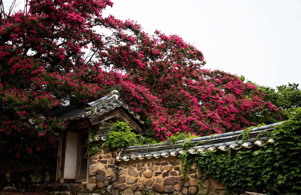 06 Crepe myrtle in full bloom, Byeongsan Seawon in Andong. South Korea. © Mikyoung Cha