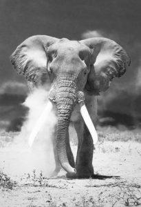 02 AfricanElephant_Javarman_Shutterstock_x1200