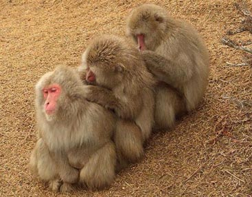 Monkeys social grooming