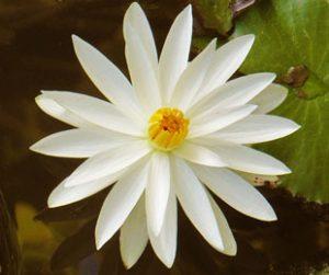 Lotus flower by Mark Ulyseas