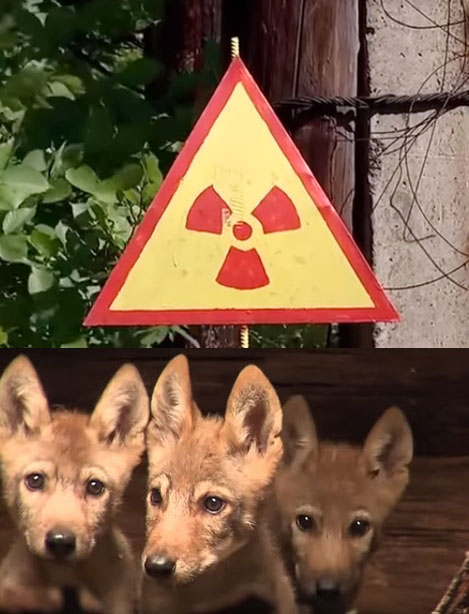 Wolf pups at Chernobyl exclusion zone