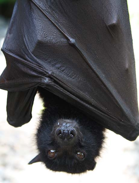 Flying Fox photograph by Mark Ulyseas