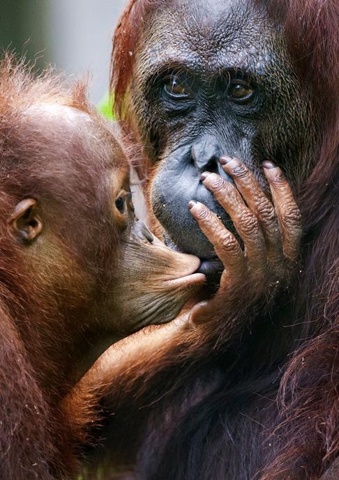 Orangutan. Photographer: Sergey Uryadnikov/Shutterstock http://www.shutterstock.com/pic-172145393.html