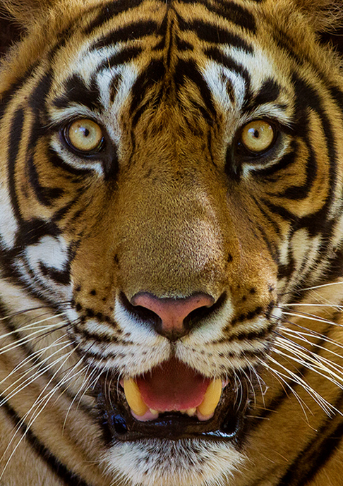 Bengal Tiger. Photographer: Dibyendu Ash. https://commons.wikimedia.org/wiki/File:Tiger_facial_marking_Sultan_(T72)_Ranthambhore_India_12.10.2014.jpg