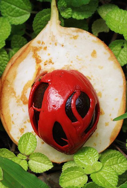 Nutmeg, photograph by Mark Ulyseas