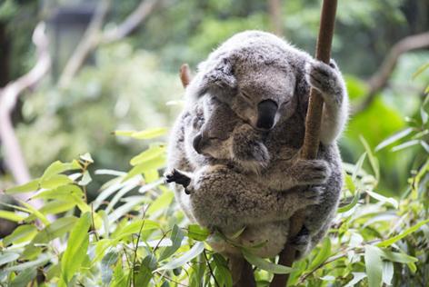 Koala mom and baby joey. Credit: Kylie Elway