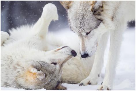 Wolves playing in snow. Credit Ken Canning.