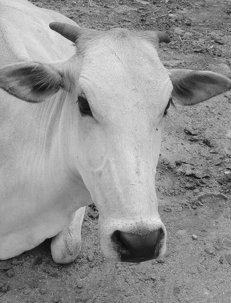 Cow - photograph by Mark Ulyseas