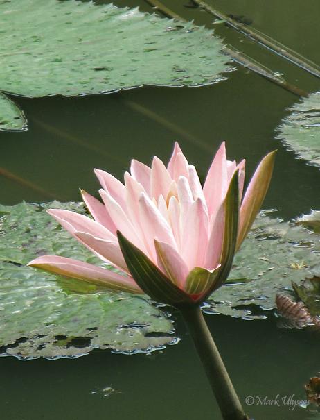 Lotus flower copyright Mark Ulyseas photograph