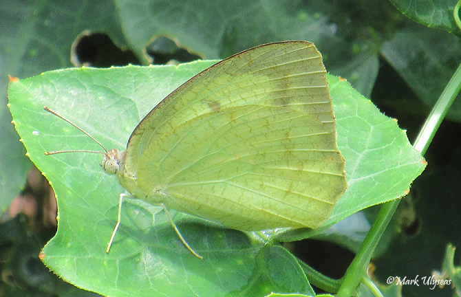Leaf butterfly photograph by Mark Ulyseas