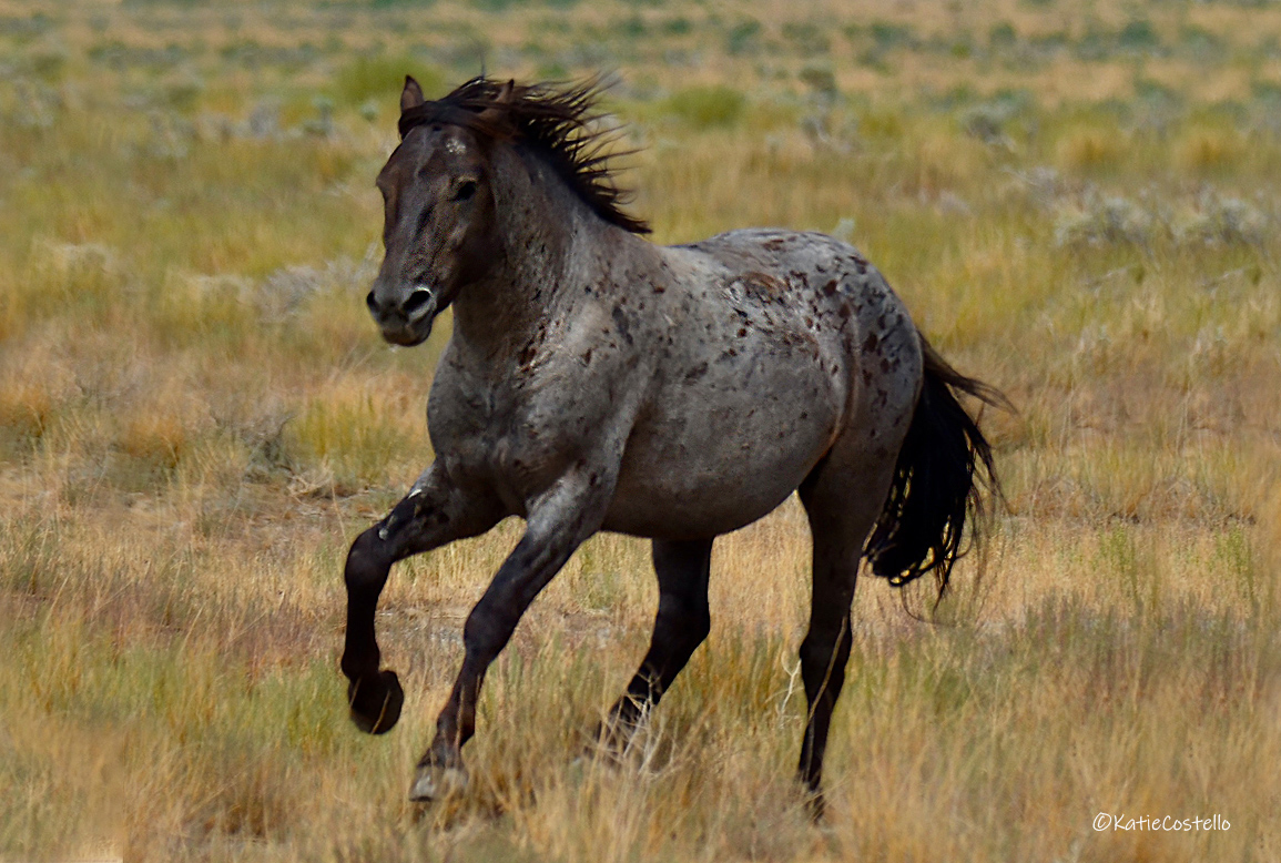 Member of the Onaqui herd. Photograph by Katie Costello while travelling on the famed Pony Express at Tooelle, Utah.