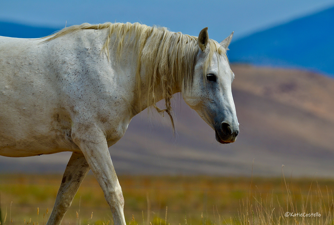 Member of the Onaqui herd with the Onaqui mountains in the background. Photograph by Katie Costello while travelling on the famed Pony Express at Tooelle, Utah.