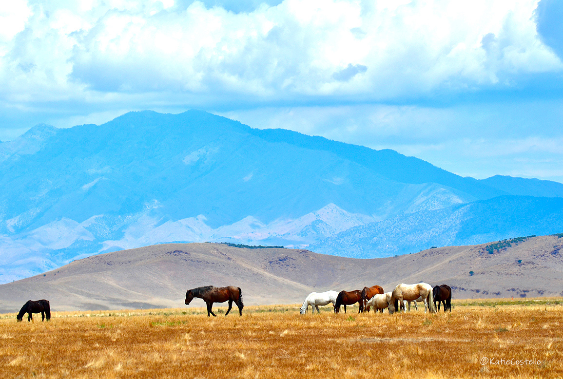 Onaqui herd with the Onaqui mountains in the background. Photograph by Katie Costello while travelling on the famed Pony Express at Tooelle, Utah.