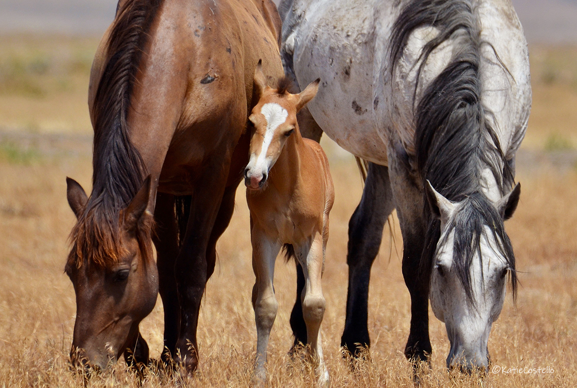 One of the families of the Onaqui herd. Photograph by Katie Costello while travelling on the famed Pony Express at Tooelle, Utah.